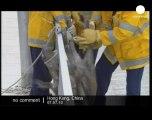 Wild boar Stuck in suburban Hong Kong - no comment