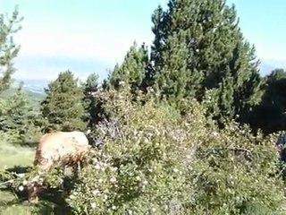 Osséja vaches en liberté  Pyrénées585