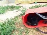 Chiots des Gardiens de la Houlette le 27/07/2010