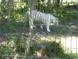 Parc des félins (2) - Tigre blanc