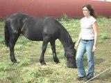 Poulains Mérens d' 1 an et cheval Camargue.
