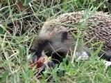 Parc national de Port-Cros >  Porquerolles : flagrant délit
