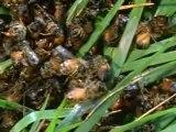 Abeilles contre frelons (la revanche des abeilles)