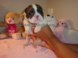 Bull Dog Puppies For Sale – English Bulldogs Pups For Sal