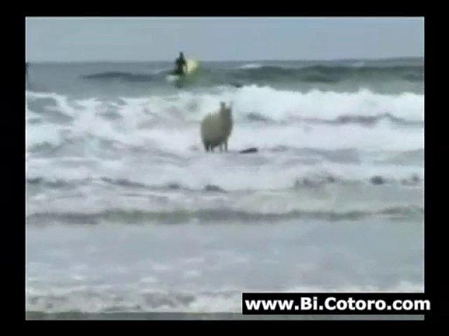 Surfing Sheep