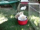 MOV03170 lapins bélier nain angora teddy