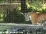 Tiger Splashing Around
