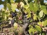 Une petite ballade dans les vignes avant les vendanges