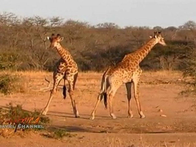 Giraffe Battle in Kruger National Park