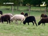 Le Mouton des landes de Bretagne (Pays de la Loire)