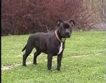 Staffordshire Bull Terriers pup