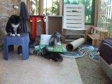 chats sibériens, les chatons de Domi et Eros 2010.2c