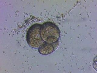 Reproduction chez l'oursin.