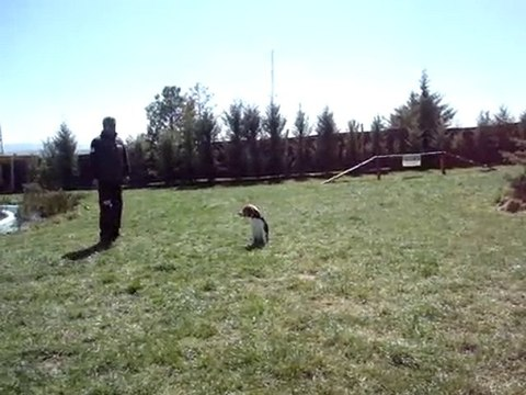 Beagle Temel İtaat