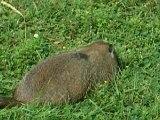 Marmotte au Parc Jean Drapeau Montréal