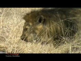 Lions Mating in Kruger National Park South Africa