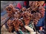 Alsace : vendanges du vin de glace