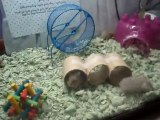 Mother Frankie & her baby dwarf hamsters #1