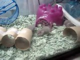 Mother Frankie & her baby dwarf hamsters #7