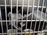 Hornell Animal Shelter #38 - kittens paper fight in cage