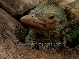 Barbet's chick-MPEG-4 800Kbps