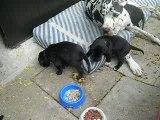 chiot dogue allemand 19/08/06
