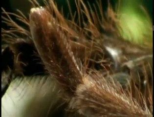 Deadly Tarantula Sex