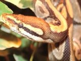 Les serpents - Snakes