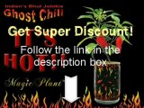 Ghost Pepper - Grow the hottest chilli peppers at home!