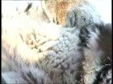 Tigre: 13 pays au chevet d'un félin menacé