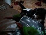 Cashew et Coco, couple de conure à joues vertes
