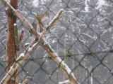 Luchs im Schnee auf einem Baumstamm im Wildgehege Hellenthal