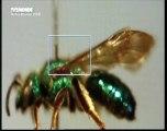 Le mystère de la disparition des abeilles (1)