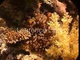 poissons clowns dans anemone