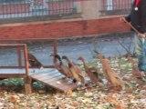Cambrai : des chiens de troupeau en visite chez les séniors