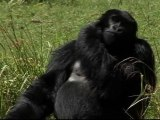 Conservation Efforts Pay off for African Mountain Gorillas