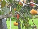 Fuyu Giant Persimmon Tree