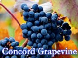 Bunch Table Grapes