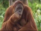 Un petit orang-outan fait la joie du zoo de Melbourne