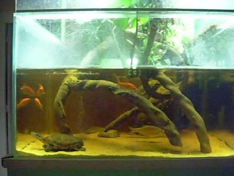 Poisson Rouge Bassin Extérieur lorsque les tortues chassent des poissons rouges