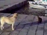 0080 - Un Chat na même pas peur du chien