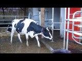 Vaches laitières Lycée la Germinière