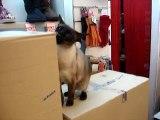TIHI le chat siamois controle la livraison de chaussures