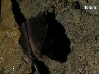 Les grands rhinolophes (chauves-souris) à Crozon-29 Tébéo TV