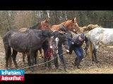 Oise : sauvetage de 31 chevaux, poneys et ânes maltraités