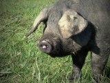 Vincent Baute- Producteur de Porc Noir de Bigorre