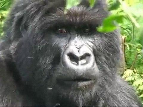 Les gorilles du Virunga
