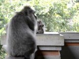 Monkeys of Ubud, Bali, Indonesia (2 of 8)