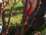 L'art de tailler les rosiers