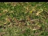 Australia - L'invasione delle locuste